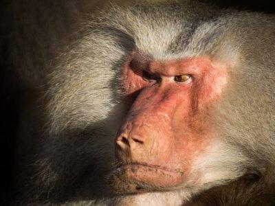 mono enfadado, consecuencias de no dormir bien
